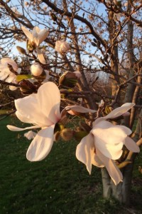 Magnolia blossoms March 2012 Finger Lakes