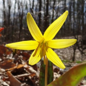Trout Lily in Spring