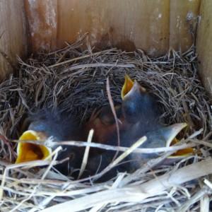 bluebird nestlings