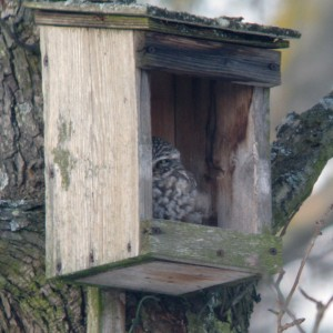 Little Owl sunning in broken nesting box (photo by A.M Ackermann)