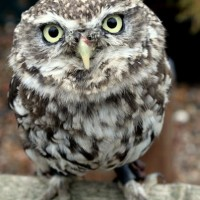 Little Owl morguefile-001