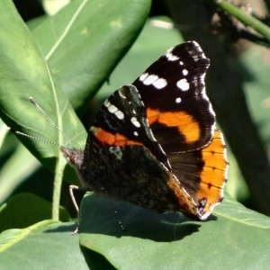 Admiral Butterfly in July