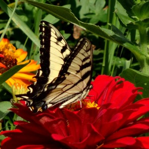Swallowtail in Zinnias