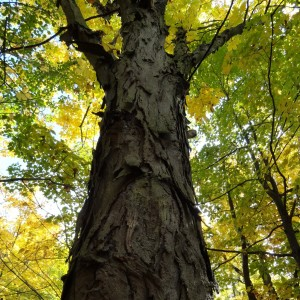 Hictory tree in autumn