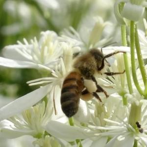 Honeybee in autumn clematis