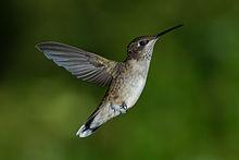 Juvenile_Male_Ruby-throated_Hummingbird
