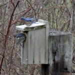 bluebirds inspecting