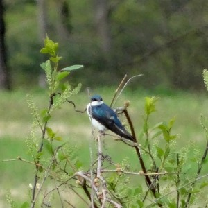 And the winner is... Tree swallow