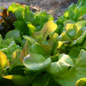 Summer lettuce in July