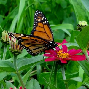 Monarch Zinnia2