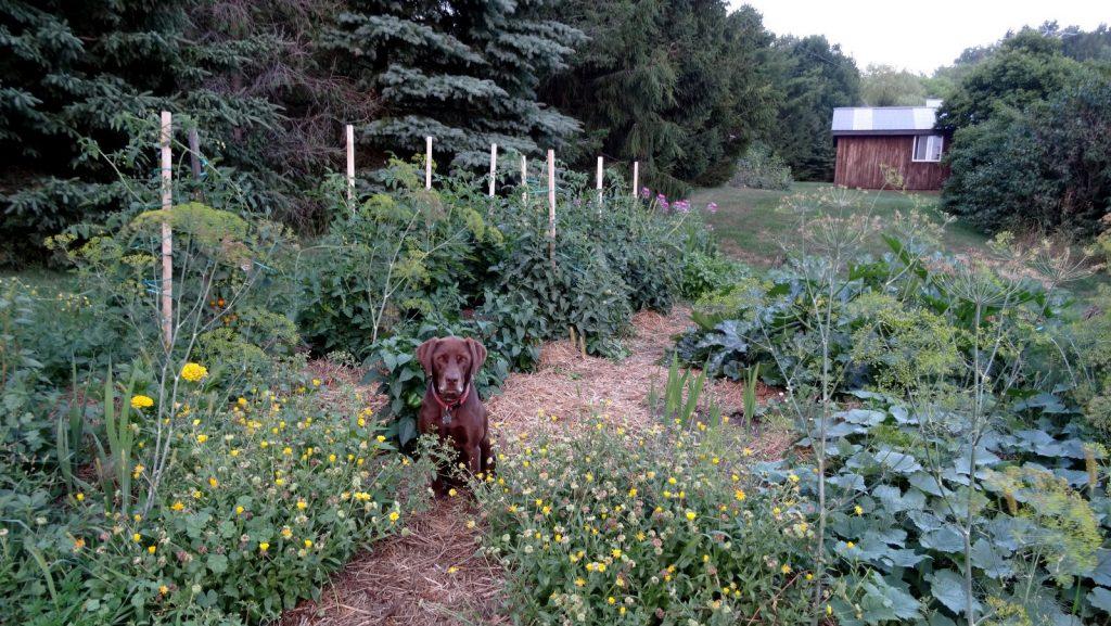 August garden bursting with food