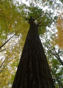 Vic's red oak