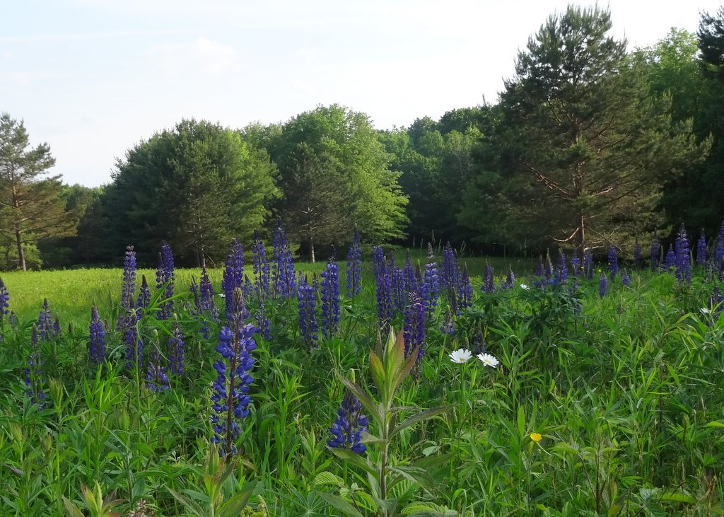 ... covered with purple blue Lupine blossoms as they were on the day he died. I'll be done when the bluebirds stop tending their nestlings in early June.