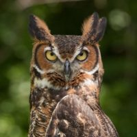 Great Horned Owl (wikipedia)