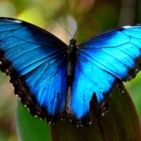 Blue Morpho Tom Hilton Flickr