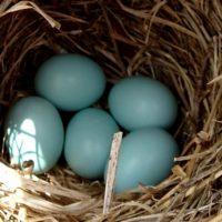 bluebird eggs 5