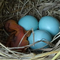 Bluebird hatching