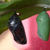chrysalis two wings